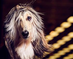 Fotos Hund Windhund Starren Afghanischer Windhund Schnauze