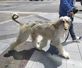Hintergrundbilder Hunde Windhund Afghanischer Windhund