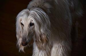 Fotos Hund Windhund Afghanischer Windhund Schwarzer Hintergrund ein Tier