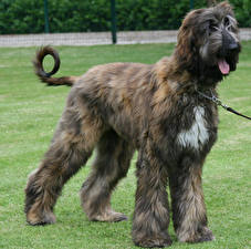 Picture Dogs Sighthound Grass Afghan Hound