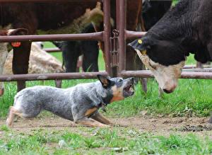 Bilder Hund Kühe Australian Cattle Gras Tiere