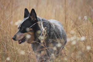 Hintergrundbilder Hunde Australian Cattle