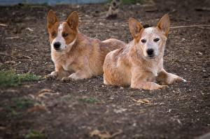 Fotos Hunde Australian Cattle Zwei Tiere