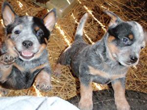 Bilder Hunde Australian Cattle Heu Welpe Zwei