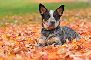 Hintergrundbilder Hund Herbst Australian Cattle Blatt Welpe