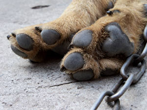 Images Dogs Closeup Paws Chain Animals
