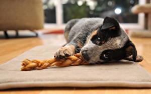 Fotos Hund Australian Cattle Blick Welpe ein Tier