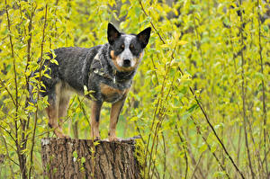Bilder Hund Australian Cattle Baumstumpf