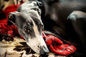 Hintergrundbilder Greyhound