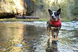 Bilder Hunde Wasser Fluss Australian Cattle