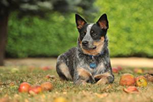 Hintergrundbilder Hunde Äpfel Australian Cattle Welpe ein Tier