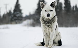 Bilder Hunde Shepherd Schnee