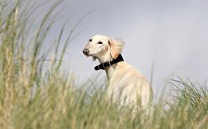 Picture Dog Sighthound Grass animal