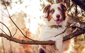 Bilder Hunde Australian Shepherd Ast Tiere