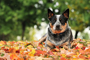 Fotos Herbst Hund Australian Cattle Blatt