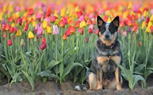 Fotos Hund Tulpen Acker Australian Cattle Blumen