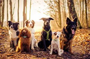 Hintergrundbilder Hunde Herbst Wälder Border Collie Shepherd Jack Russell Terrier Pudel Blatt Tiere