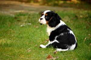 Bilder Hunde Welpen Gras King Charles Spaniel ein Tier