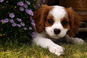 Hintergrundbilder Hunde Welpe Blick King Charles Spaniel Tiere