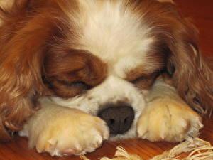 Bilder Hunde Schläft Pfote King Charles Spaniel