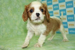 Hintergrundbilder Hunde Welpen King Charles Spaniel