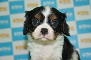 Fotos Hunde Welpe Blick King Charles Spaniel