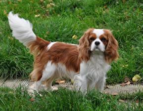 Bilder Hunde Gras King Charles Spaniel