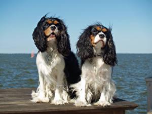 Fotos Hunde 2 King Charles Spaniel ein Tier