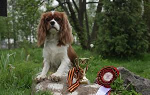 Fotos Hunde Auszeichnung Gras King Charles Spaniel