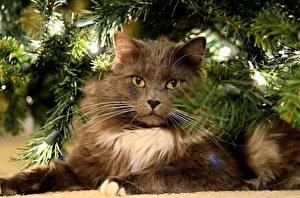 Bilder Katze Ast Tannenbaum Flaumig Blick Schnurrhaare Vibrisse Tiere