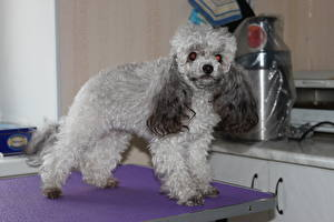 Fotos Hund Pudel Grau Tiere