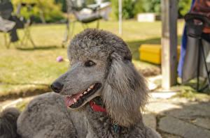 Hintergrundbilder Hund Pudel Schnauze Grau ein Tier