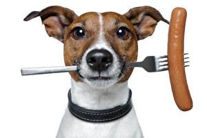 Wallpapers Dog Vienna sausage Fork Jack Russell terrier Snout Glance Animals