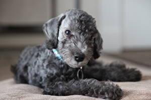Hintergrundbilder Bedlington Terrier