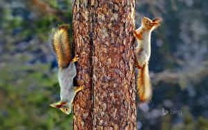 Wallpaper Rodents Squirrels Trunk tree Tail Two animal
