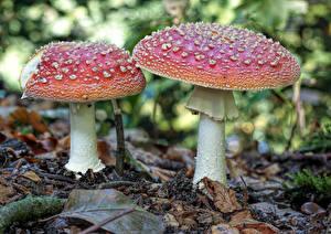 Bilder Großansicht Pilze Natur Wulstlinge Natur