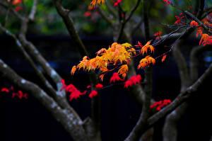Bilder Herbst Ast Blatt Ahorne Natur