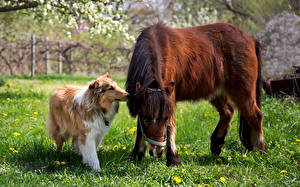 Wallpapers Horse Dog Collie Grass Two animal