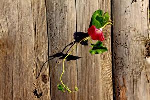 Bakgrunnsbilder Vindelfamilien Nærbilde Gjerde Treplanker blomst