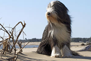 Image Dog Sky Beach Sand Old English Sheepdog Bobtail
