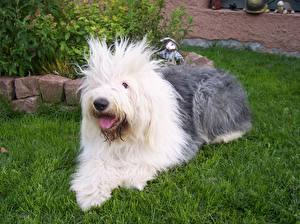 Images Dogs Old English Sheepdog Grass Animals
