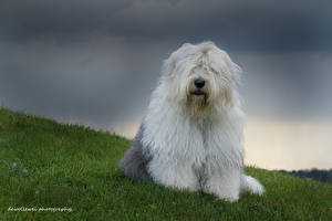 Images Dogs Old English Sheepdog Grass Lawn