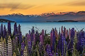 Pictures New Zealand Lake Lupinus Mountains Tekapo Nature Flowers