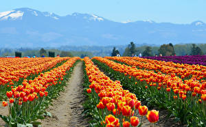 Wallpapers Fields Tulips Mountains Orange Flowers