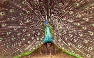 Bilder Pfauen Federn Vogel