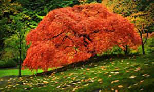Picture Autumn Parks Trees Grass Leaf Orange Nature