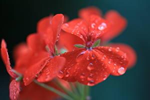 Picture Geranium Closeup Drops Red Flowers