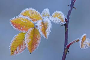 Bilder Herbst Großansicht Ast Blatt Eis Natur