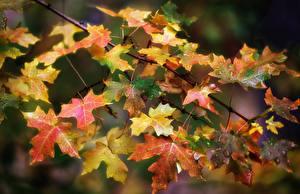Bilder Herbst Großansicht Blattwerk Ast Tropfen Natur