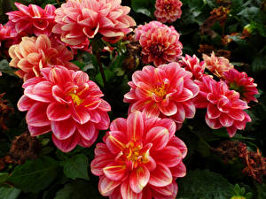 Desktop hintergrundbilder Georginen Großansicht Rosa Farbe Blumen